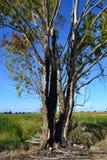 Bronken drzewo Zdjęcie Stock