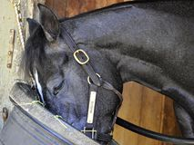 Bronson - гавань Saratoga лошади стоковые фото