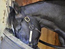 Bronson - abrigo Saratoga do cavalo fotos de stock