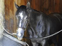 Bronson, Gorgeous Gray Racehorse royalty free stock photo
