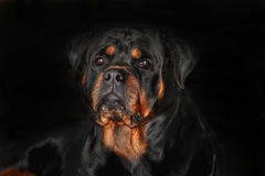Bronson. Is one of our Rottweiler studs Stock Photos