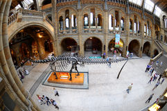 The Brontosaurus skeleton, the hub of the museum Stock Image