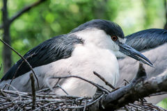 Bronx Zoo birds. Bronx Zoo has many kinds of birds. Here, a little heron at nest stock photo