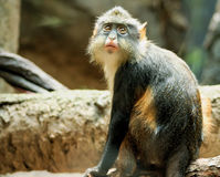 Bronx Zoo. Mandrill monkey takes a look at visitors at Bronx Zoo, New York stock images