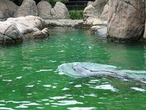 Bronx-Zoo-Meer Lion Pool 2 lizenzfreies stockfoto
