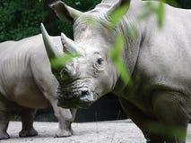Bronx-Zoo-Nashorn 11 lizenzfreie stockfotos