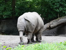 Bronx Zoo Rhinoceros 25. Members of the rhinoceros family are characterized by their large size, they are some of the largest remaining megafauna, with all of Royalty Free Stock Photography