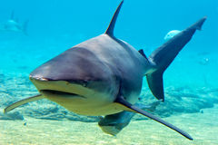 Bronze. Whaler Shark with suckerfish Royalty Free Stock Images