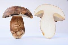 Bronze Bolete mushroom cross section Stock Photography