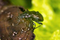 Bronze Carabid beetle Royalty Free Stock Photos