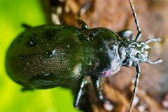Bronze Carabid beetle head with dew drops. Macro of Carabus nemoralis (Bronze Carabid) beetle with dew drops resting on a wooden stick Royalty Free Stock Image