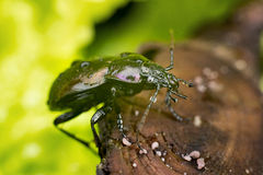 Bronze Carabid beetle with water drops Stock Images