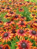 Bronze colored Rudbeckia Summerina cone flowers after rainfall Royalty Free Stock Image