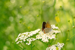 Bronze Copper Butterfly Royalty Free Stock Photography