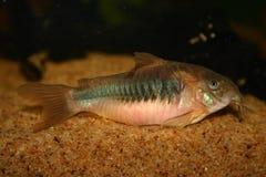 Bronze corydoras. Catfish cory fish Stock Photos