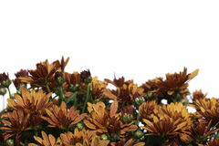 Border of bronze fall mum flowers on white Stock Photo