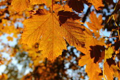 Ochre foliage of maple tree in late summer Stock Photography