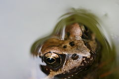 Bronze Frog Stock Images