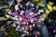 Bronze-leaved clerodendrum or Clerodendrum quadriloculare. SAO PAUL0, SP, BRAZIL - AUGUST 9, 2015 - Bronze-leaved clerodendrum, fire works or shooting star Stock Image