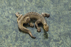 Bronze lizard stock images