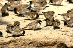 Bronze Manniken. These small birds was eating seeds in the Kruger Park at a Picnic Spot Stock Photos