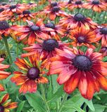 Bronze rudbeckia summerina flowers after rainfall Stock Photo