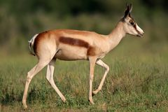 Bronze springbok antelope Stock Photo