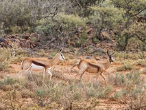 Bronze Springbok Antelope. A Bronze Springbok antelope in Southern African savanna Royalty Free Stock Photo