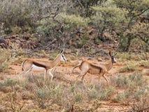 Bronze Springbok Antelope. A Bronze Springbok antelope in Southern African savanna Royalty Free Stock Photo