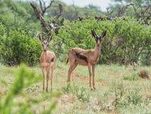 Bronze Springbok Antelope. A Bronze Springbok antelope in Southern African savanna Stock Images