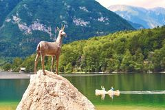 Ribcev Laz, Slovenia - July 04, 2017: Bronze statue of Goldhorn Zlatorog deer next to the Bohinj Lake in Triglav royalty free stock photography