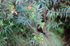 Bronze Sunbird. (Nectarinia kilimensis) in Nyungwe National Park, Rwanda Royalty Free Stock Images