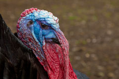 Bronze turkey 02 Stock Images
