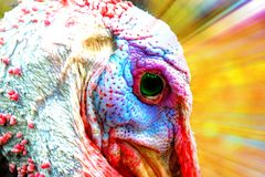 Bronze turkey glory Stock Images