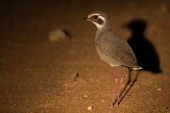 Bronze-winged courser at night looking for insects in spotlight Stock Photos