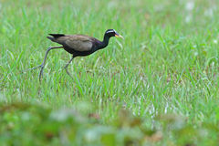 Bronze-winged Jacana Royalty Free Stock Photos