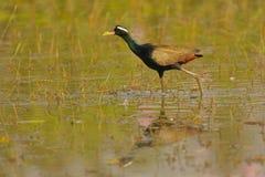 Bronze - winged jacana,bird  banswara, rajasthan, India. Bronze - winged jacana bird walking in the marshland royalty free stock images