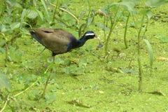 Bronze-winged Jacana Bird, Metopidius indicus, Royalty Free Stock Photos