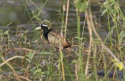 Bronze - winged jacana. Bird searching for food in water of pond. very natural view royalty free stock image