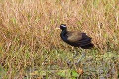 Bronze-winged Jacana bird Stock Image