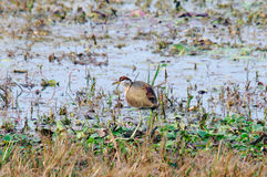 Bronze-winged Jacana Metopidius indicus Stock Image