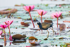 Bronze-winged Jacana Stock Photos