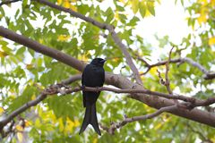 Bronzed Drongo,Dicrurus aeneus. Close view of a Bronzed Drongo stand on tree,Dicrurus aeneus Royalty Free Stock Photography