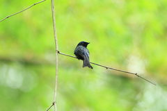 Bronzed Drongo. (Dicrurus aeneus) in Taiwan Royalty Free Stock Photography