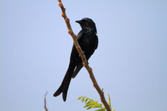 Bronzed Drongo Stock Photos