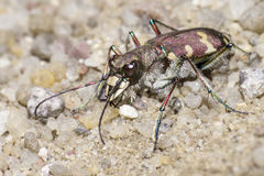 The Bronzed Tiger Beetle Royalty Free Stock Image