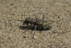 Bronzed Tiger Beetle. A fierce insect predator, a Bronzed Tiger Beetle rests on the sandy ground on a Lake Michigan beach stock images