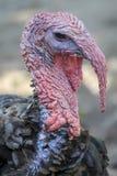Bronzed turkey Royalty Free Stock Photo