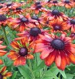 Bronzerudbeckia summerina Blumen nach Niederschlag Stockfoto