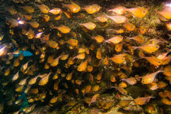 Bronzy fish on reef Royalty Free Stock Photography